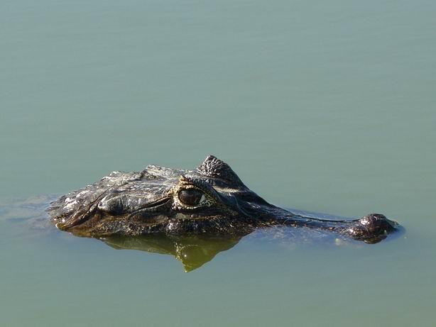 Jacaré en el Pantanal